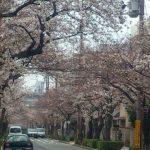 桜の開花と新年度