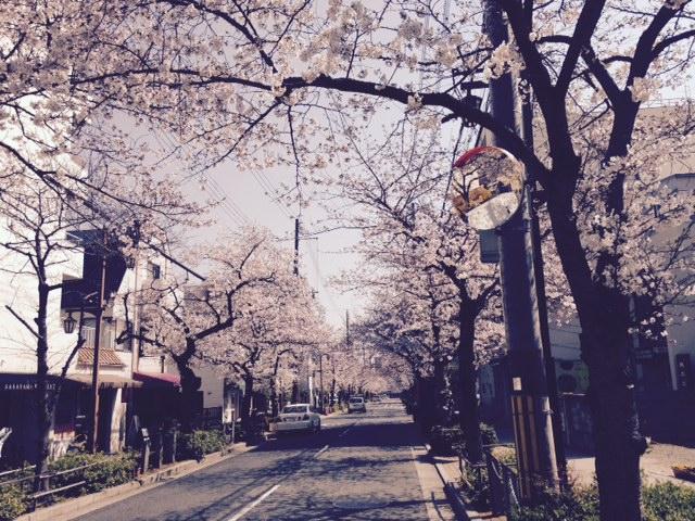 芦屋の桜!今、最高